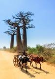 Coche del cebú del baobab foto de archivo