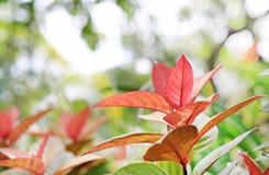 Cochinchinensis del leafExcoecaria dell'albero di cecità su fondo vago nel giardino di estate fotografia stock