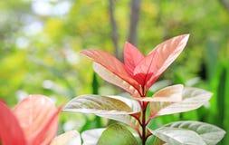 Cochinchinensis di Excoecaria della foglia dell'albero di cecità immagine stock libera da diritti