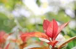 Cochinchinensis di leafExcoecaria dell'albero di cecità sull'vago su con il fondo del bokeh nel giardino di estate fotografia stock libera da diritti