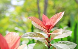 Cochinchinensis Excoecaria лист дерева слепоты стоковое изображение rf