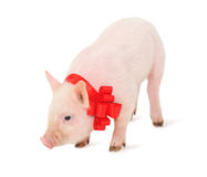 Cochinillo con una cinta roja Fotos de archivo libres de regalías