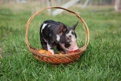 Cochinillo en una cesta Imagen de archivo libre de regalías