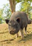 Cochinillos barrigones del cerdo Foto de archivo libre de regalías