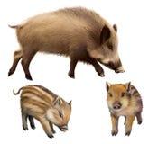 Verraco familly, dos pequeños cochinillos y cerdos de la madre. Ejemplo realista aislado en el fondo blanco stock de ilustración