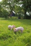 Cochinillos en prado