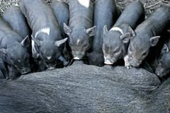Cochinillos ibéricos negros de la lactancia imagen de archivo