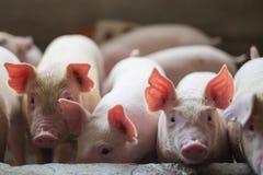 Cochinillos lindos en la granja de cerdo Imagen de archivo libre de regalías