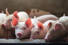 Cochinillos lindos en la granja de cerdo Imagenes de archivo