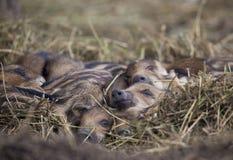 Cochinillos recién nacidos del jabalí que duermen en la paja fotos de archivo