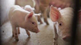 Cochinillos rosados en la granja de cerdo, Xi'an, Shaanxi, China almacen de video