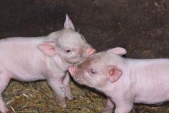 cochinillos rosados en la vertiente farming imagenes de archivo
