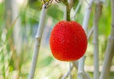 Cochinnensis Momordica Стоковые Фотографии RF