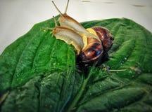 cochlea Стоковые Изображения