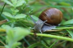 cochlea Foto de Stock