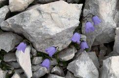 Cochlearifolia viola della campanula del fiore di campanula nel parco nazionale di Triglav in Julian Alps in Slovenia Fotografie Stock