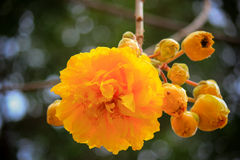 Cochlospermum regium or Yellow Cotton Tree with yellow and bright flowers. Flowering plant that has its origins in the Cerrado tropical savanna of South America Stock Image