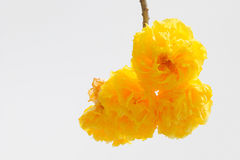 Cochlospermum regium. Yellow flower blooming on the tree Stock Photography