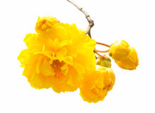 Cochlospermum regium Stock Photos