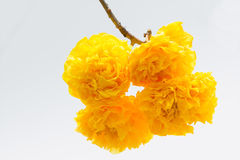 Cochlospermum regium. Yellow flower blooming on the tree Stock Image