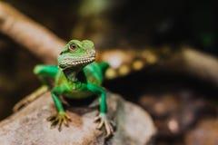 Cocincinus chino de Physignathus del dragón de agua Fotos de archivo libres de regalías