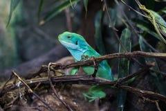 Cocincinus chinois de Physignathus de dragon d'eau, également appelé l'agame vert de l'eau images libres de droits