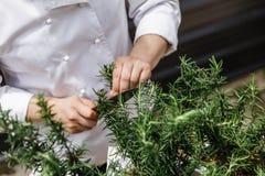 Cocinero Cut Rosemary Leaves por el cuchillo para hacer a Rosemary Oil Fotos de archivo