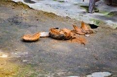 cocinut壳的图片,在是被切开的开放的吃后的它 村庄生活 免版税库存图片