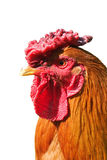 Cock Royalty Free Stock Image