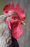 Cock. Head with open beak Royalty Free Stock Photography