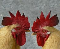 Cock. Of the walk isn't inherited, it is earned Royalty Free Stock Photography