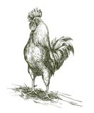 Cock. Aviculture. Poultry breeding. Vector sketch. On a white background Stock Photos
