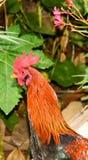 Cock bird portrait Stock Photo