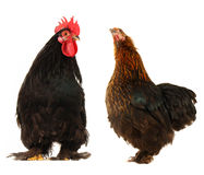 Cock and  black hen Stock Images