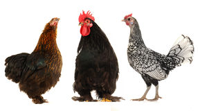Cock and  black hen Stock Image