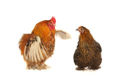 Cock and brown hen Royalty Free Stock Images