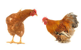 Cock and brown hen Stock Photos