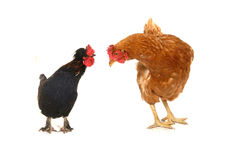 Cock and brown hen Royalty Free Stock Photos