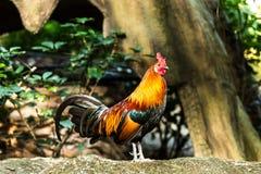Cock  in chiangmai zoo, chiangmai Thailand Royalty Free Stock Image