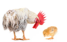 Cock and chick Royalty Free Stock Photo