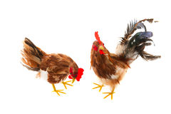 Cock and chicken Royalty Free Stock Images