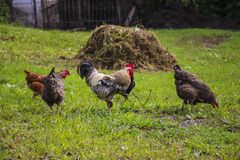 Among chickens on a background of green grass in the garden.  stock photos