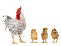 Cock and chicks Stock Photography
