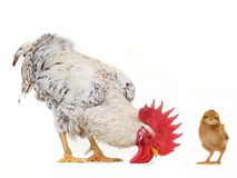 Cock and chicks Royalty Free Stock Photography