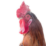 Cock, cockerel, rooster on white background. Royalty Free Stock Images