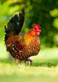 Cock. A colorful and beautiful cock or rooster bird moving free in nature on a field of a poultry farm Royalty Free Stock Photos