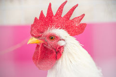 Cock. Colorful Rooster. Cock. Bantam. chicken as pets Stock Photo