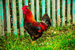 Cock. Colorful rooster walks in the yard Royalty Free Stock Images