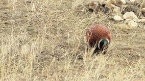 Cock- Common Pheasant stock video footage