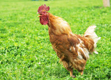 Cock crowing Stock Images